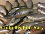Chibi Beatour S2.5