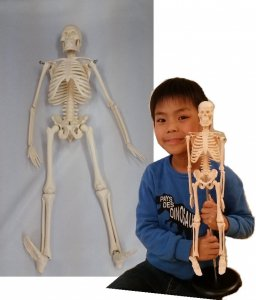 人体骨格模型(ミニ骨格模型)