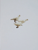 <B>Wild Pigeon</B><BR>Carolyn Drake