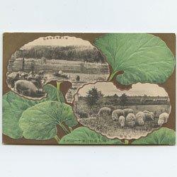 絵はがき 樺太庁第11回始政記念 樺太庁種畜場の養豚と綿羊(kf12b) -樺太庁