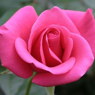 こだわって選んだばらの花束テレサ・オークランド・メモワール10本から会員は50円引き