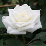 こだわって選んだばらの花束ティネケ・サフィーア・ミルバ10本から会員は50円引きはこちら