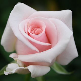 こだわって選んだばらの花束タイタニック・レッド・シオン10本から