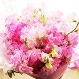 かわいいスイトピー50本の花束一部地域は送料無料