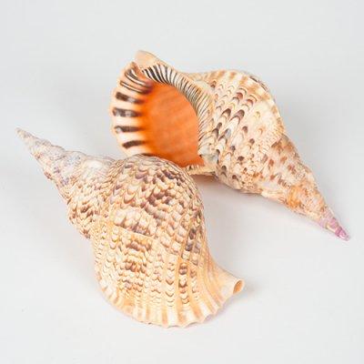 ホラガイ 1個 35〜18cm