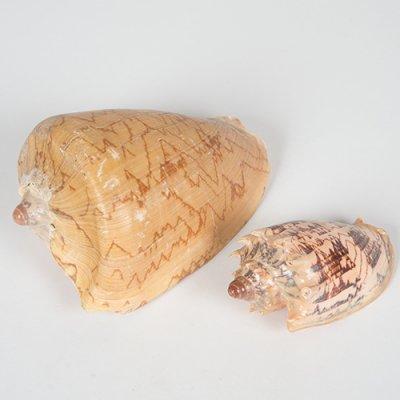 ボルタインペリアス  1個  17cm / 12cm
