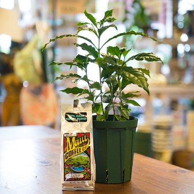【Lani Hawaii】Hawaiian Coffee&Coffeeの木5L号☆限定4セット