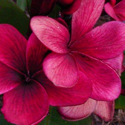<img class='new_mark_img1' src='https://img.shop-pro.jp/img/new/icons25.gif' style='border:none;display:inline;margin:0px;padding:0px;width:auto;' />【Maui Plumeria Garden】Kimi Beauty /キミ ビューティー[プルメリア鉢植え]/HGPL-287★
