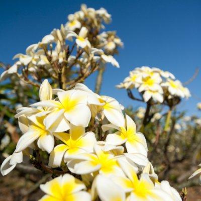限定数【Molokai Plumeria】Celadine/セラダイン[プルメリア鉢植え]/HGPL-136H