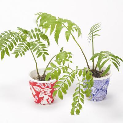 リュウビンタイ Marattiaceae・4号/HGPL-231