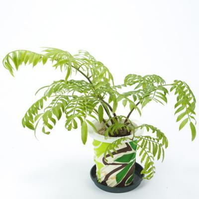 【限定入荷!】リュウビンタイ Marattiaceae・5L号/HGPL-232