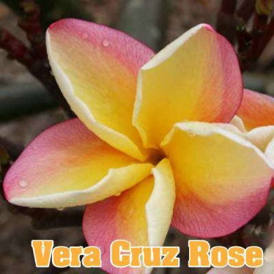 〔鉢数限定!!!〕【Maui Plumeria Garden】Vera Cruz Rose/ベラ クルーズ ローズ[プルメリア鉢植え]/HGPL-253H★<img class='new_mark_img2' src='https://img.shop-pro.jp/img/new/icons26.gif' style='border:none;display:inline;margin:0px;padding:0px;width:auto;' />