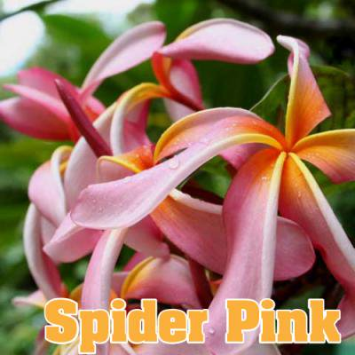 【Maui Plumeria Garden】Spider Pink/スパイダー ピンク[プルメリア鉢植え]/HGPL-254H★<img class='new_mark_img2' src='https://img.shop-pro.jp/img/new/icons26.gif' style='border:none;display:inline;margin:0px;padding:0px;width:auto;' />