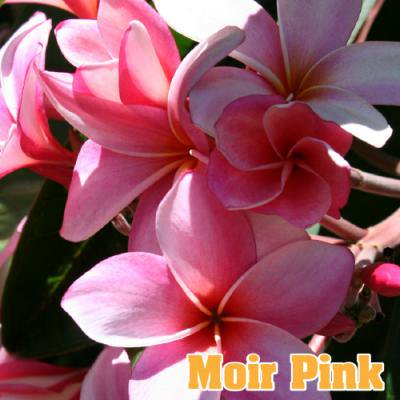 <img class='new_mark_img1' src='//img.shop-pro.jp/img/new/icons29.gif' style='border:none;display:inline;margin:0px;padding:0px;width:auto;' />【Maui Plumeria Garden】Moir Pink/モイヤー ピンク[プルメリア鉢植え]/HGPL-256H★