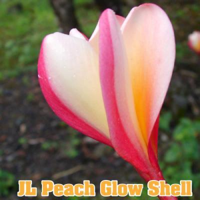 <img class='new_mark_img1' src='https://img.shop-pro.jp/img/new/icons29.gif' style='border:none;display:inline;margin:0px;padding:0px;width:auto;' />【Maui Plumeria Garden】Peach Glow Shell /ピーチグロウシェル[プルメリア鉢植え]/HGPL-174H ★
