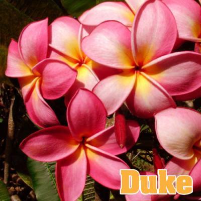 【Maui Plumeria Garden】Duke/デューク[プルメリア鉢植え]7号鉢/HGPL-268H★<img class='new_mark_img2' src='https://img.shop-pro.jp/img/new/icons25.gif' style='border:none;display:inline;margin:0px;padding:0px;width:auto;' />