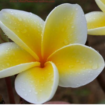 〔鉢数限定!!!〕【Maui Plumeria Garden】Moililli Gold/モイリイリゴールド[プルメリア鉢植え]/HGPL-298H★<img class='new_mark_img2' src='https://img.shop-pro.jp/img/new/icons25.gif' style='border:none;display:inline;margin:0px;padding:0px;width:auto;' />