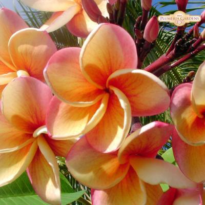 【Maui Plumeria Garden】India/インディア [プルメリア鉢植え]/HGPL-165H★<img class='new_mark_img2' src='https://img.shop-pro.jp/img/new/icons25.gif' style='border:none;display:inline;margin:0px;padding:0px;width:auto;' />