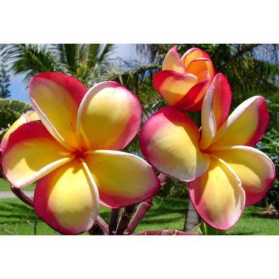 【Maui Plumeria Garden】Intense Rainbow/インテンスレインボー[プルメリア鉢植え]/HGPL-170H★<img class='new_mark_img2' src='https://img.shop-pro.jp/img/new/icons26.gif' style='border:none;display:inline;margin:0px;padding:0px;width:auto;' />
