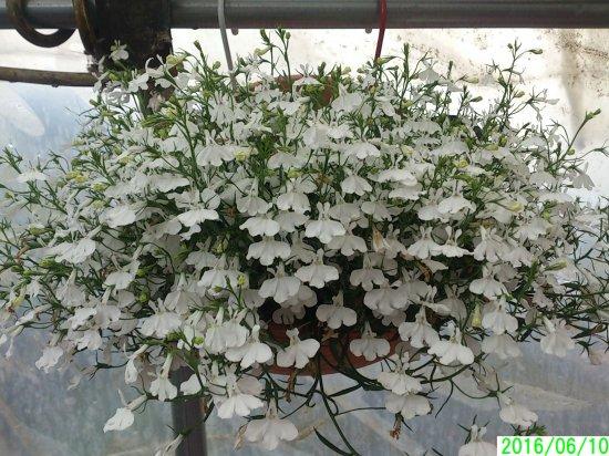 鉢花 【すぐに飾れる】 アズーロコンパクト ホワイト 壁掛け仕立て