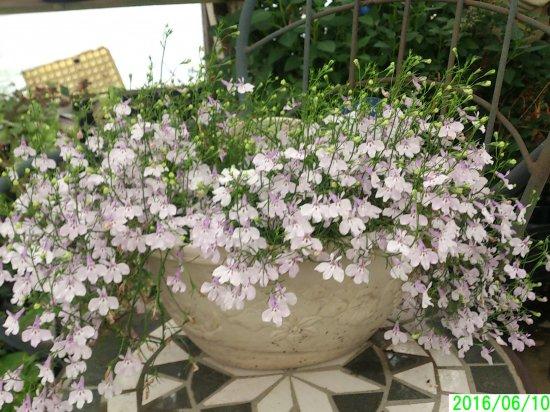 鉢花 【すぐに飾れる】 アズーロコンパクト ピンク 壁掛け仕立て