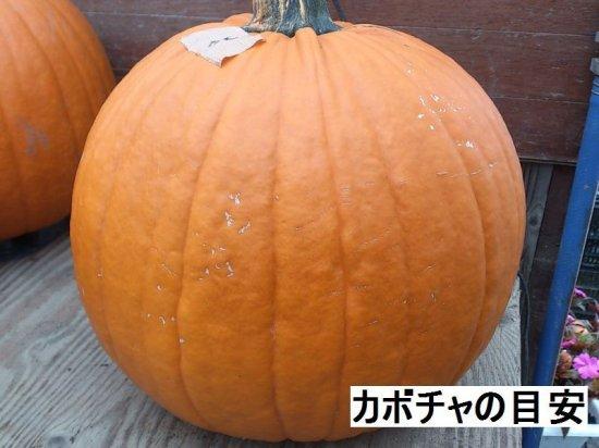 ハロウィン ジャックオーランタン用 かぼちゃ 中玉種Lサイズ 5kg