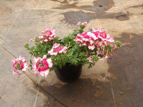 新しい花色のタイプのバーベナ ...