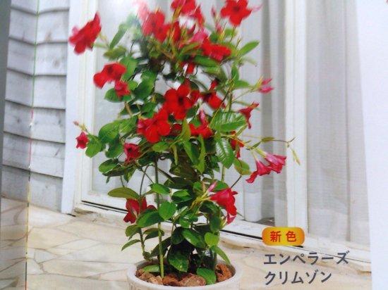 【猛暑に負けないツル植物】 サンパラソル 大輪咲きタイプ エンペラーズクリムゾン